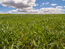 Farm, crop field. landscape with green grass. Spain agriculture. royalty free stock photo