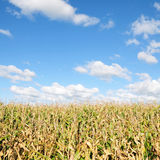 Farm Crops. Crops Growing in a Field with a Beautiful Blue Cloudy Sky Above Stock Photo