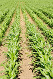 Farm Crops royalty free stock images