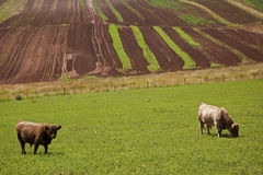 Farm with crops and beef cattle Stock Photos