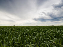 Farm Crops in Green Fields:. Farmer`s field of crops with a vivid sky background Royalty Free Stock Photo