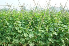 Farm cucumber seedlings Stock Photos