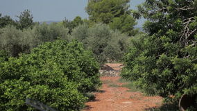 Farm for cultivation of oranges. Spain, city of Calig, August 2014 orange grove farm stock video footage