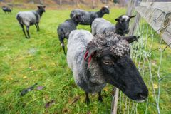 Farm der Tiere in Norwegen Stockbild