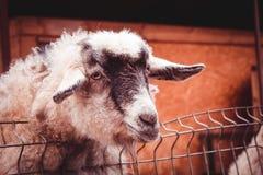 Farm- der Tierenagetierhaus des Tieres Lizenzfreies Stockbild