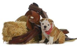 Farm dog. English bulldog sitting beside bale of straw with saddle on white background Royalty Free Stock Images