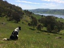 Farm dog. Alex Vardy's farm in New Tallangatta, Victoria Royalty Free Stock Image