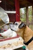 Farm Dog begging for Baking Bowl. Dog begging for Baking Bowl in front of chickens Stock Image