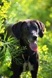Farm Dog Royalty Free Stock Photos