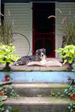 Farm Dog on Front Porch. Large Shepard dog laying on a farm front porch Royalty Free Stock Photo