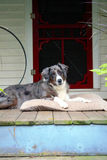 Farm Dog on Front Porch. Large Shepard dog laying on a farm front porch Royalty Free Stock Image
