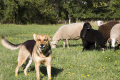 Farm Dog Guarding Herd of Sheep. On Farm Land Stock Images