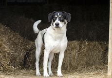 Free Farm Dog Hound Mix Cattle Dog In Hay Barn Royalty Free Stock Image - 109931106