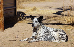 Farm dog lays in the dirt Royalty Free Stock Photos