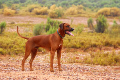 Rhodesian Ridgeback dog on farm Royalty Free Stock Photography