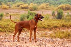 Rhodesian Ridgeback dog on farm royalty free stock photography