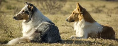 Farm Dogs. Two collie dogs watching the sunset on a farm Stock Image