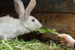 Farm domestic rabbit sniffing a fresh dandelion leaf from child arm Royalty Free Stock Image