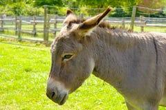 Farm donkey Stock Photography