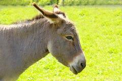 Farm donkey Royalty Free Stock Photos
