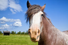 Farm Draft Horse. Farm work horse out in the field on a beautiful summer day stock image