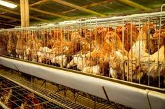 Farm drobiu karmazynki i jajka, woliera zdjęcia royalty free