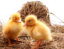 Farm ducklings Royalty Free Stock Images