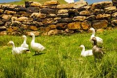 Farm ducks Stock Images