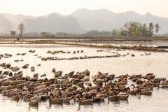 Farm ducks group swimming Stock Photo
