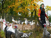Farm ducks and turkey in the village , old woman standing with knife Royalty Free Stock Photos