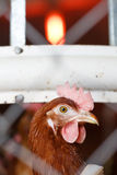 Farm egg-laying hen, living in confined spaces. Portrait of a farm egg-laying hen, living in confined spaces in an industrial facility, being locked behind a royalty free stock images