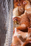 Farm egg-laying hens, living in confined spaces Royalty Free Stock Image