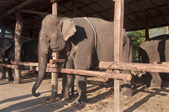 Farm for elephants used for tourist rides Royalty Free Stock Photos