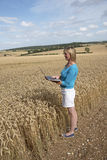 Farm employee in field of wheat quality check Royalty Free Stock Image