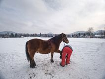 Farm employee hold horse at paddock for hooves check. Farm employee hold brown horse at paddock for hooves check and control horseshoes. Horse hold front leg on stock photography