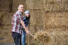 Farm employees collecting grass with pitchforks in livestock bar Stock Photo