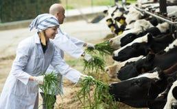 Farm employees in livestock barn Royalty Free Stock Photography
