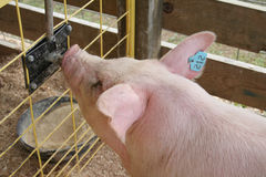 Farm Fair Pig Drinking Stock Photo