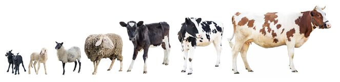 Free Farm, Farm Animals, Cow On A White Background, A Sheep On A White Background, A Sheep, A Bull, A Horse, A Group Of Animals On A Wh Stock Photo - 170943810