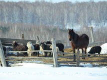 Farm farmstead. Pets are in the courtyard of a farmer in winter Royalty Free Stock Photography