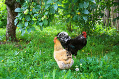 Farm farmyard, rooster and chicken walking in yard Stock Photos