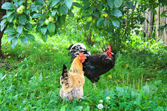 Farm farmyard, rooster and chicken walking in yard Stock Photo