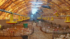 Farm for fattening turkeys. Small chickens turkeys at a poultry farm stock video footage
