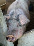 Farm: feed the pig. New England farm with pig waiting to be fed Royalty Free Stock Images