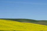Farm field of blooming canola Royalty Free Stock Photography