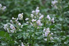 In the field bloom potatoes. On the farm field bushes grow potatoes Royalty Free Stock Photography