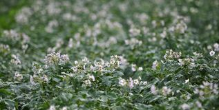 In the field bloom potatoes. On the farm field bushes grow potatoes Stock Images