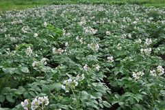 In the field bloom potatoes. On the farm field bushes grow potatoes Royalty Free Stock Photo