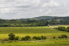 Farm field with cows Royalty Free Stock Photo