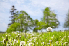 Farm Field of Dandelions Stock Images